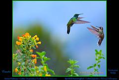 GREEN VIOLETEAR & SPECKLED HUMMINGBIRD. Colibri thalassinus & Adelomyia melanogenys above Tandayapa in ECUADOR. Photo by Peter Wendelken. (Neotropical Pete) Tags: greenvioletear lesservioletear greenvioletearinecuador speckledhummingbird speckledhummingbirdinecuador interspecificaggressivebehaviorinhummingbirds hummingbird colibriorejivioláceoverde colibríjaspeado colibrí picaflor chupaflor colibricyanotus adelomyiamelanogenys adelomyia trochilidae ecuadorhummingbirds southamericanhummingbirds ecuadorbirds southamericanbirds neotropicalbirds aves pichinchaprovince tandayapa ecuador hummingbirdphotobypeterwendelken peterwendelken colibrithalassinus ngc coth5 npc
