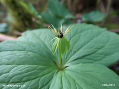 Herb Paris 28/04/2019 (the_greenman) Tags: waresleygransdenwoods wildlifetrust ancientwoodland thegreenman wwwwaresleywoodcouk conservation