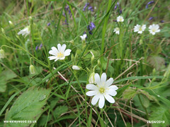 Stitchwort 28/04/2019 (the_greenman) Tags: waresleygransdenwoods wildlifetrust ancientwoodland thegreenman wwwwaresleywoodcouk conservation