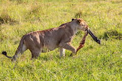 Guess What's For Dinner (Jill Clardy) Tags: africa kenya vantagetravel safari travel 201902279l8a2535 location tanzania transmara riftvalleyprovince lion food feeding kill black white zebra leg grass savanna grasses green afternoon meal