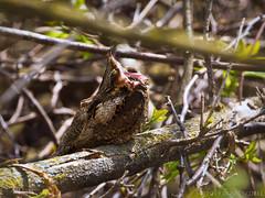 Whipped! (Doug Scobel) Tags: eastern whippoorwill antrostomus vociferus magee marsh woods forest sleepy yawn camouflage