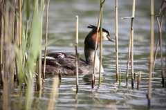 This is your new lake. (Alan McCluskie) Tags: greatcrestedgrebechick greatcrestedgrebes grebehumbug podicepscristatus grebes lake fledgling waterbirds