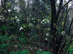 contrast bloom (WallisColours) Tags: seattle redmond washington trees spring rain bloom blooming foliage green plants pacific northwest
