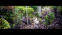 喵店長 shop keeper cat (Steve only) Tags: welta weltini ii schneiderkreuznach xenon 120 f5cm 502 50mm f20 rf rangefinder foldingcamera 老折 fujifilm fujicolor c200 200 film epson gtx970 v750 snaps cats 店喵