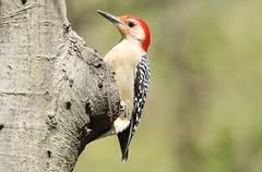 Red-bellied Woodpecker (melanerpes carolinus) (mrm27) Tags: woodpecker redbelliedwoodpecker melanerpes melanerpescarolinus centralpark newyork newyorkcity usa