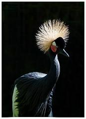 Black crowned crane - Balearica pavonina (docsunny) Tags: black crowned crane balearica pavonina