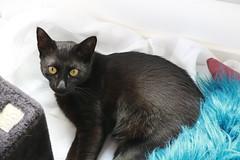 Arya (bateauxdefumee) Tags: cat chat black noir cute animal animals félin avril 2019 france arya sansa