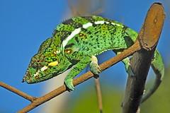 L'endormi (capsul'in) Tags: endormi caméléon 974 iledelaréunion animal faune nature extérieur