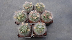 Mammillaria bocasana, 3 years from seed (armen.cactus) Tags: cactus succulent mammillaria bocasana seedlings flower blooms blossoms
