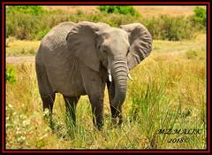 AFRICAN ELEPHANT (Loxodonta africana)....MASAI MARA....SEPT 2018. (M Z Malik) Tags: nikon d3x 200400mm14afs kenya africa safari wildlife masaimara keekoroklodge exoticafricanwildlife elephants ngc