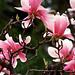 """Cincinnati - Spring Grove Cemetery & Arboretum """"Betty Magnolia"""""""