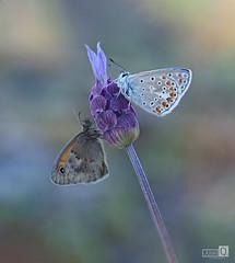 Princesa y Loba (JoseQ.) Tags: pareja macro macrofotografia mariposas insecto bicho animal par amigas cantueso lavanda flor primavera posadas loba princesa vecinas olympus apilado