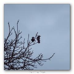 Pb_4290090 (calpha19) Tags: imagesvoyagesphotography photography adobephotoshoplightroom olympusomdem1mkii zuiko ed50200swd printemps 2019 ngc flickrsexplore oiseaux choucas faucon grangessurvologne grandest vosges faune