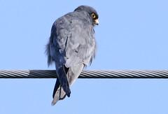 Red Footed Falcon (Arnt Kvinnesland) Tags: falcovespertinus redfootedfalcon raptor rarebirds aftenfalk falker rovfugler kulturlandskap vår april sjeldnefugler håvik karmøy rogaland norway