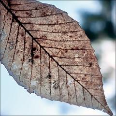 Leftover... (Timothy Valentine) Tags: 0419 beech leaf macromondays 2019 home eyeofthebeholder eastbridgewater massachusetts unitedstatesofamerica usa