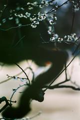 plum tree (N.sino) Tags: leica m4 summicron90mm fijifilm provia100 shinjuku shinjukugyoen plum plumtree ポジフィルム プロビア 新宿 新宿御苑 梅