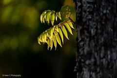 2019 Mt Lofty April Finals LR WM-5 (Helen C Photography) Tags: adelaide hills south australia mount lofty autumn nature colours nikon d750 sunset dusk leaves backlit backlight tree green