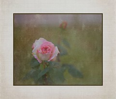 Remembering Mom (Christina's World!) Tags: rose flower nature pink white textures vintage exhibitionoftalent kurtpeiser coth5