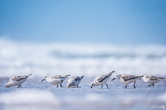 Du monde sur la plage (Flying_B) Tags: bécasseau sanderling calidris alba birds blue france oléron île plage beach