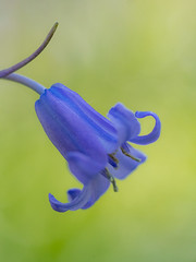Keep Your Head Up (Gijs Peijs) Tags: spring netherlands flowers closeup floral outdoor bloem wildehyacint blue blooming macro flora delicate easter wildhyacinth hyacint lente hyacinth nature flower petals detail