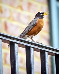American Robin (Steve Holsonback) Tags: montgomery county maryland gaithersburg american robin bird sony a77ii sigma 70200