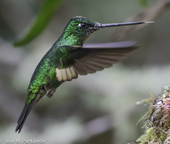 LIFER:EN TERMALES DEL RUIZ, CALDAS , COLOMBIA A 3,500 MSNM!!This is the Buff-winged Starfrontlet (Coeligena lutetiae) a common hummingbird found in the higher elevations of the Andes Mountains in Colombia, Ecuador and Peru. (Cimarrón Mayor 16,000.000. VISITAS GRACIAS) Tags: