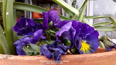 Pansies in pot on balcony railings 29th April 2019 002 (D@viD_2.011) Tags: pansies pot balcony railings 29th april 2019
