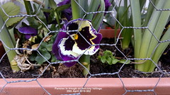 Pansies in trough on balcony railings 29th April 2019 002 (D@viD_2.011) Tags: pansies trough balcony railings 29th april 2019