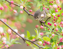 Kinglet in the Crabapple Tree (dshoning) Tags: bird bloom crabapple kinglet spring april tree iowa