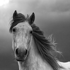 Gray Mare (captures.in.time) Tags: horse equine farm ngm ngc lonelyplannet mare lovehorses pony stable free wind rain blackandwhite photography bnw bw