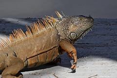 Iguana iguana / Iguane vert / Green Iguana (Laval Roy) Tags: reptiles lavalroy canon iguanidés mexique mexico jalisco eltuito ranchoprimavera iguanaiguana greeniguana iguanevert