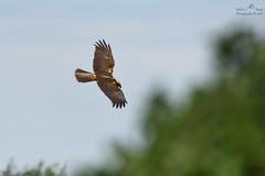 Falco di palude ( Circus aeruginosus ) (walzerb68) Tags: falco di palude circus aeruginosus lip uccelli rapaci bird