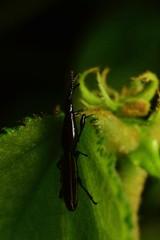 Brentidae (Reinaldo Aguilar) Tags: brentidae insecto abejon