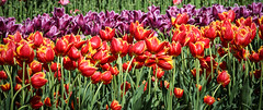 Holland Ridge Farms Tulips (Yuri Dedulin) Tags: tulip bulbs festival east coast flowers plants beautiful blossom closeup flora outdoors macro spring new jersey yuri dedulin nature nj 2019 holland ridge farm cream wwwhollandridgefarmscom