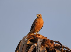 Red shouldered hawk in sunset (charlescpan) Tags: