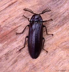 Callirrhipis marmorea (Fairmaire, 1878) female 20 mm Callirhipidae (LennyWorthington) Tags: callirrhipismarmoreafairmaire 1878