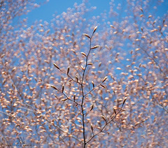 bokeh buds (marianna armata) Tags: bokeh buds tree beech spring new fresh growth montreal canada marianna armata