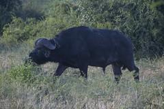 DSC_3050_1 (Marshen) Tags: capebuffalo botswana