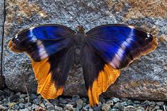 Blue and gold beauty (ucumari photography) Tags: ucumariphotography lewisginter botanical garden richmond virginia va insect butterfly blue gold april 2019 dsc0898 yellowedgedowl caligoatreus specanimal