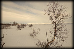 If it weren't for the trees... (Abisko, Sweden) (armxesde) Tags: pentax ricoh k3 schweden sweden norrbotten lappland lapland abisko winter schnee snow himmel sky wolke cloud tree baum birke birch torneträsk lake see frozen gefroren