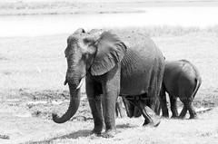 African Bush Elephant, Éléphant de savane (Loxodonta africana) - Chobe National Park, BOTSWANA (brun@x - Africa Wildlife) Tags: 2019 bruno portier brunoportier chobe botswana national park chobenationalpark mammifères wild wildlife african africa afrique big5 éléphant africanbushelephant bush savanna savane éléphantdesavane éléphantidés elephantidae proboscidea pachydermes ngc