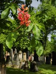 Jüdischer Friedhof Mainz (nordelch61) Tags: frühling grün graveyard grave grabsteine grabstätte grab cementery jewish juden jüdisch friedhof mainz rheinlandpfalz deutschland