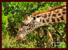 MASAI GIRAFFE (Giraffa camelopardalis tippelskirchii)......MASAI MARA......SEPT 2018. (M Z Malik) Tags: nikon d3x 200400mm14afs kenya africa safari wildlife masaimara keekoroklodge exoticafricanwildlife masaigiraffe ngc