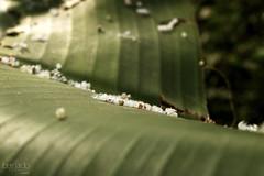 Hatching (Bernardo Serrano) Tags: canon insectos bugs wild salvaje naturaleza nature mariposa butterfly butterflies insecto insect bug