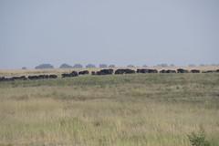 DSC_3071_1 (Marshen) Tags: capebuffalo botswana
