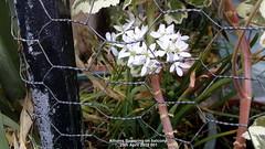 Alliums flowering on balcony 29th April 2019 001 (D@viD_2.011) Tags: alliums flowering balcony 29th april 2019