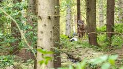 Wildpark MV Güstrow (Zarner01) Tags: 28042019 damwild güstrow luchs steinadler storch wildparkmv wolf wildpark mv mecklenburg vorpommern deutschland canon eos 80d 55250 is stm apsc outdoor wolfsgehege luchsgehege wolfsportrait luchsportrait barlachstadt mecklenburgvorpommern 24105l isusm