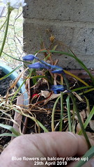 Blue flowers on balcony (close up) 29th April 2019 (D@viD_2.011) Tags: blue flowers balcony close up 29th april 2019
