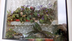 African Violets & Orchids in small kitchen window 29th April 2019 (D@viD_2.011) Tags: african violets orchids small kitchen window 29th april 2019