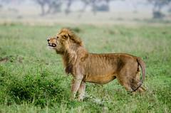 Grinning (seedosip) Tags: tanzania serengeti wildlife safari nikond7000 africa